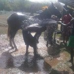 horses getting a bath.Horseback riding St.Lucia