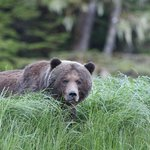 Male grizzy bear
