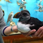 See puffin in the wild and at the local 'aquarium.'