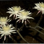 Queen of the Night, the night-blooming cereus Peniocereus greggii