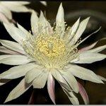 Queen of the Night, the night-blooming cereus Peniocereus greggii