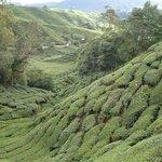 Чайные плантации, они там везде