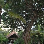 Large shade tree by the pool