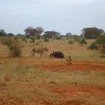 leone vs bufalo