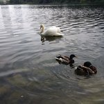 Ducks and swan in High Park!