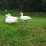 resident white ducks