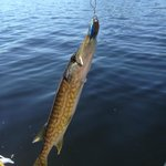 the chain pickerel I caught on the Inns rod and lure