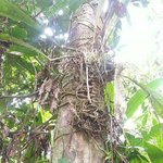 bromeliads growing on a large tree