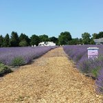 French Lavender in full bloom