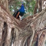 Peacock in Banyon at Gator Park