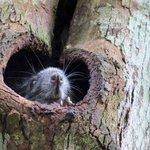 """""""Tree rat""""."""