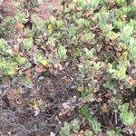 Huckleberry trees