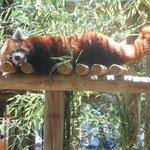 Le Panda Roux, mon coup de cœur !