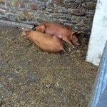 Resident piggies!