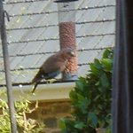Jay at the bird feeder