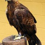 Golden Eagle, Lake District Wildlife Park