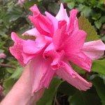 Double pink hibiscus bloom
