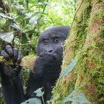 Bwindi gorillas, day two
