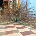 Peacock greeter