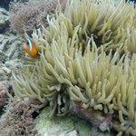 """""""Nemo"""" snorkelling at Koro Sun Resort"""