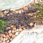 Crocodile habitat on property