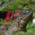 Friendly Iguana on Grounds