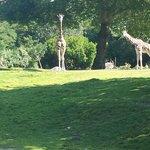 Giraffe/Zebra