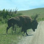 This is one of the bison that strolled across the road.