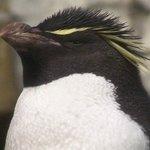 Rockhopper penguin at the Shedd