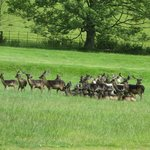 Being greeted by the herd of deer