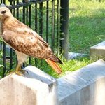 Red-tailed Hawk visiting Gracie