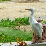 another visit from our ibis friend