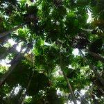 Fan Palms in Daintree National Forest