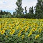 Sunflowers near Lagnes