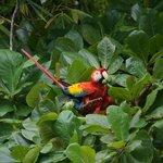 Scarlet Macaw!