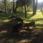 Warthogs on the grounds