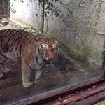 La tigre!