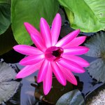 Lillypad flower in pond surrounding pool