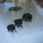 en el jardin se encontraban estas tortuguitas acuaticas