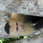 One of the monkeys in Manuel Antonio National Park