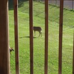 Mom and 2 fawns frolicking in front of cabin