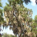 The lovely draped Spanish moss on every oak tree. True southern charm.