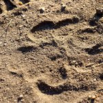 Lion paw print outside our lodge