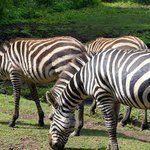 View of the zebras from the room