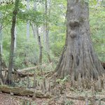 Aric,  200-year-old cypress photographed on the trails at Blue Springs