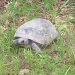 A very tolerant, very busy, gopher tortoise.