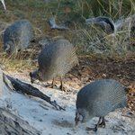 Great to see guinea fowl in such great numbers.