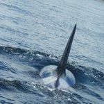 Orca die onder onze boot zwom