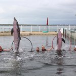 Dolphins Leaping out of the water