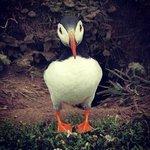 Skomer Island - Puffin! x